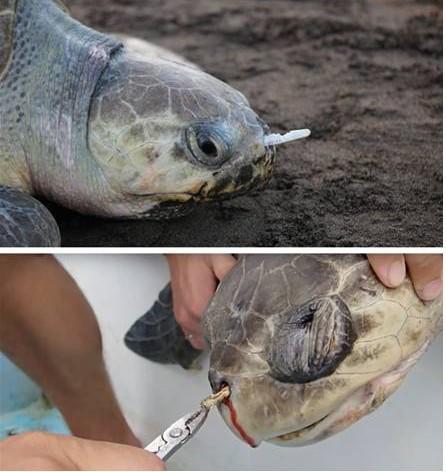 塑胶吸管刺伤海龟